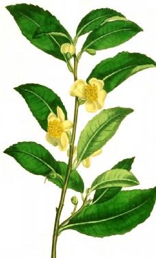 手绘茶树图片