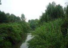 河边杨柳图片