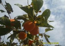 大红柿子枝枝挂图片