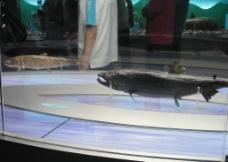 抚远大马哈鱼标本图片