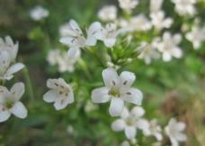 山间小白花图片