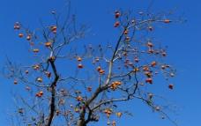 柿子树图片