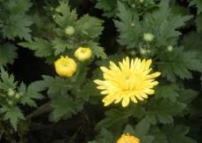 黄菊花图片