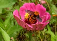 蜜蜂与鲜花图片