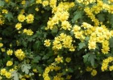 野生黄菊花图片