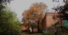 黄楝树图片