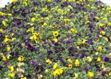 繁花锦簇图片