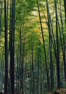 竹林(非高清)图片