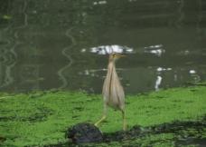 骄傲的水鸟图片