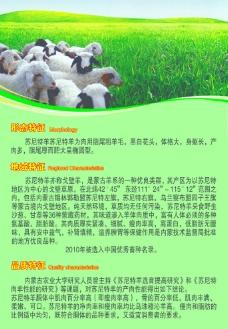 苏尼特羊图片