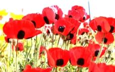 红色罂粟花图片