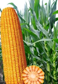 高清玉米 玉米叶图片