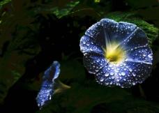 喇叭花(非高清)图片