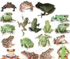18款青蛙素材图片