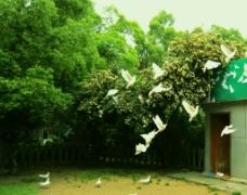 鸽子飞翔图片