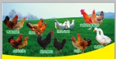 养殖场各种鸡图片