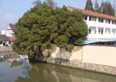 历史风貌区大树图片