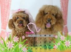 2012年宠物狗台历图片