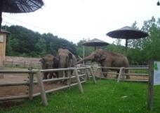 亚洲象图片