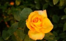 黄色月季图片