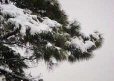 雪中松图片