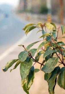 樟树叶图片