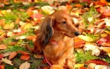 秋天落叶公园宠物狗图片