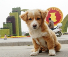 黄毛狗图片